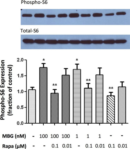 Representative (top) and quantitative analysis of phosphoribosomal S6 protein western blots derived from cardiac fibroblasts treated with marinobufagenin (MBG; 1 or 100 nmol/L), rapamycin (Rapa; 0.01 or 0.1 μmol/L), or in combination with the corresponding quantitative data shown as the mean±SEM of 5 experiments. Total ribosomal S6 protein was used as loading control. *P<0.01 versus control; **P<0.01 versus MBG 100 nmol/L, MBG 100 nmol/L+Rapa 0.01 μmol/L, MBG 1 nmol/L, and MBG 1 nmol/L+Rapa 0.01 μmol/L.