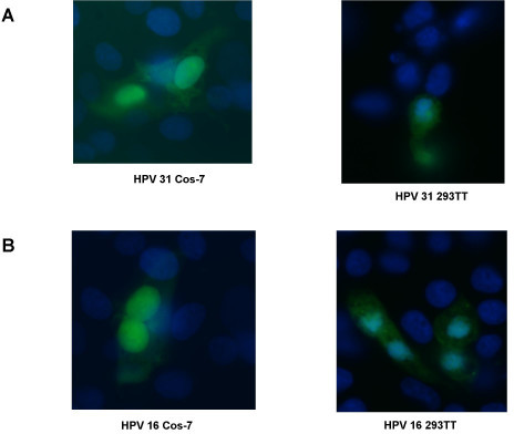 Infection of Cos-7 and 293 TT cells by HPV 31 and HPV 16 pseudovirions. (A). HPV 31 pseudovirions were used to infect Cos-7 cells (left panel) or 293 TT cells (right panel). (B). HPV 16 pseudovirions were used to infect Cos-7 cells or 293 TT cells (right panel). After 24 hours, the media was changed. The infection was allowed to proceed for a total of 72 hours where maximal GFP expression occurred. The cells were fixed and stained with DAPI. Shown is a representative field of infected cells detected by GFP fluorescence.