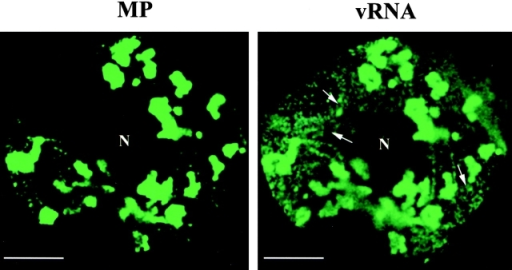 vRNA colocalizes with the MP. Protoplasts infected with vRNA-MP:GFP-ΔC (see Fig. 1) were fixed at midstages of infection, and the pattern of MP accumulation was observed as fluorescence emitted by the MP:GFP. The samples were then treated to eliminate fluorescence by GFP and hybridized with the fluor-RNA probe to detect vRNA. A cell showing the MP distribution was identified by its position and shape and visualized to detect the products of hybridization (vRNA). Comparison of both images reflects colocalization of MP:GFP and vRNA. N, nucleus. Bars, 10 μm.