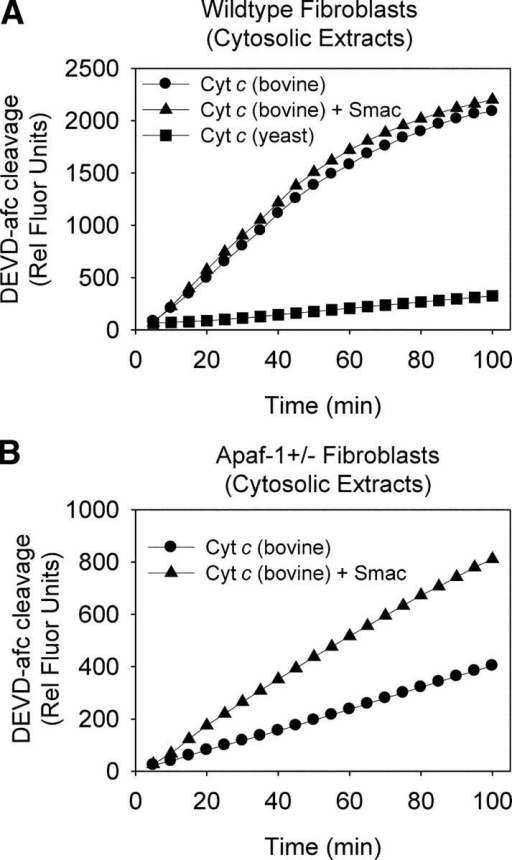 Reduction of Apaf-1 in primary fibroblasts allows strict IAP-mediated regulation of cytochrome c–mediated caspase activation. Cytosolic lysates were prepared from primary dermal fibroblasts from either wild-type (A) or Apaf-1 heterozygous (B) mice. The ability of bovine cytochrome c (10 μM) alone or bovine cytochrome c and Smac (1 μM) together to activate caspases was examined in these lysates. Yeast cytochrome c was added to these lysates as a negative control. Data shown are representative of at least three independent experiments.