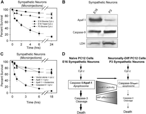 Modulation of Apaf-1 levels determines the strict IAP regulation of caspases in developing primary sympathetic neurons. (A) Sympathetic neurons from E16 and P3 mice were maintained in culture for 2 d and compared for the ability of cytochrome c to induce apoptosis by cytosolic microinjection of cytochrome c. (B) Levels of Apaf-1 and procaspase-9 were examined in whole-cell lysates of E16 and P3 sympathetic neurons after 2 d in culture. Levels of lactate dehydrogenase (LDH) were examined as a loading control. (C) Primary sympathetic neurons (from P0 mice after 5 d in culture) were injected with plasmid DNAs encoding EGFP (50 ng/μl) and vector alone, Apaf-1, or caspase-9 (200 ng/μl). After 24 h for DNA expression, GFP-positive cells were injected with cytochrome c or rhodamine dextran and were assessed for viability at multiple times after the injections. Data shown are mean ± SEM of three independent experiments. (D) Model showing how a marked reduction in Apaf-1 activity with neuronal differentiation is coupled to the increased effectiveness of endogenous IAPs in regulating cytochrome c–mediated apoptosis.