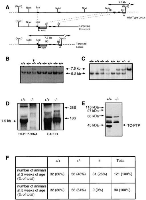 Generation of TC-PTP–deficient mutant mice by gene targeting. (A) Targeting construct of TC-PTP. Diagram of wt TC-PTP  genomic locus encompassing four exons (nc 227–771, aa 54–235, in TC-PTP cDNA; reference 14). Probe A hybridizes to a 5.2-kb fragment generated by NdeI digestion. The targeting construct using a 5.5-kb genomic  sequence with the neo resistance gene eliminates ∼9 kb of genomic sequence including 1.5 exons. The resulting targeted locus after a correct  homologous recombination event is shown. In the targeted allele, probe  A hybridizes to a 7.6-kb fragment generated by NdeI digestion. H3, HindIII. The thick line in the targeting construct diagram represents pBluescriptTM IIKS(+) backbone sequences. (B) Southern blot analysis of representative ES cell clones after electroporation. For each clone, DNA was  extracted from one well of a 96-well plate and digested NdeI (+/+, wt;  +/−, heterozygously targeted clone [arrow]). Hybridization was with  probe A. Targeted allele and normal allele correspond to the 7.6-kb and  5.2-kb fragments, respectively. (C) Southern blot analysis of mouse tail  DNA from progeny of heterozygous mouse matings. After DNA extraction, 50 μg of tail DNA were digested with NdeI (+/+, wt; +/−, heterozygotes; −/−, homozygotes). Hybridization was with probe A. Targeted allele and normal allele correspond to the 7.6-kb and 5.2-kb  fragments, respectively. (D) Northern blot analysis of total RNA extracted from spleen of wt (+/+) and homozygous (−/−) mice. Wt TC-PTP message was detected as a 1.5-kb transcript using TC-PTP cDNA as  a probe. The same blot was stripped and reprobed with a glyceraldehyde  3-phosphate dehydrogenase probe to assess the level of loading. (E) Western blot analysis of total cellular protein extracted from spleen of wt (+/ +) and homozygous (−/−) mice using the anti TC-PTP monoclonal antibody 3E2. TC-PTP migrates at 45 kD. Other bands represent immunogloblin chain subunits that are recognized by the secondary goat anti– mouse horseradish peroxidase conjugated antibody. (F) Table of progeny  survival in littermates from the crossing of heterozygous mice for the TC-PTP disruption.