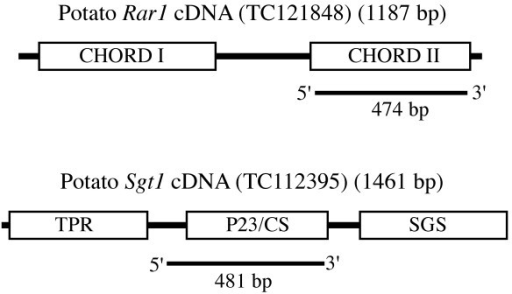 Schematic representation of the potato Rar1 and Sgt1 genes and regions used for RNAi construct development.