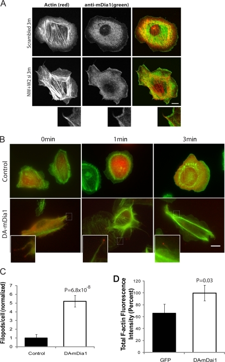 mDia1 localization and activity. (A) Localization of mDia1 by antibody staining in N-WASP/WAVE2 double KD cells and control cells. Cells were treated with Scrambled or N-WASP/WAVE2 siRNA and stained with anti-mDia1 antibody (green) at 3 min after EGF stimulation. Rhodamine phalloidin was used to stain for actin (red). Insets show actin protrusion with filopods in N-WASP/WAVE2 KD cells. Bar, 10 μm. (B) Constitutively active mDia1 activation gives similar phenotype to N-WASP/WAVE2 double KD cells. Images of cells transfected with control GFP empty vector (top, red) or GFP-ΔGBD-mDia1 (bottom, red), a DA mDia1, for 6 h. Images were taken of cells fixed at 0, 1, and 3 min after EGF stimulation. Rhodamine phalloidin was used to stain for actin (green). Insets (indicated by dashed boxes) show active mDia1 localized at tips of filopods. Bar, 10 μm. (C) Quantification of filopod formation. P-values are compared with control GFP vector cells. (D) Total F-actin fluorescence intensity (percent) was measured using the mean value of phalloidin staining of unstimulated cells transfected with GFP or DA-mDia1 vector. P-values are in comparison to control. Error bars indicate ±SEM of a total of 19 cells from three independent experiments.