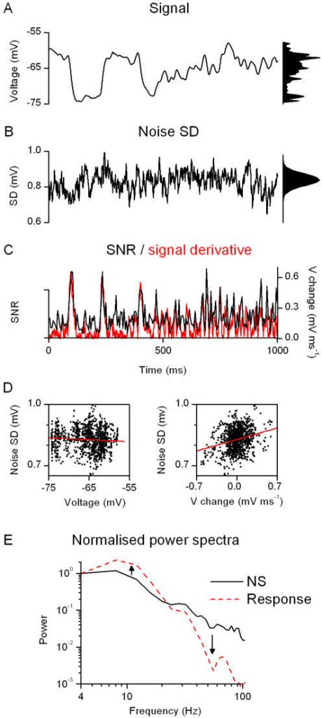 The photoreceptors enhance transient features of the stimulus and flatten the probability density of the transmitted frequencies.The reliability of temporal patterns in the photoreceptor responses is analyzed by comparing the average response, A (i.e. signal), to the time-dependent variability of the voltage responses, B (i.e. noise SD), evoked by a NS sequence. The probability distributions of these functions are shown in right. Noise SD is non-uniform across the stimulation pattern, calculated for every time-point across the voltage traces to the last 90 presentations of the NS light pattern (the first 10 showing an adapting trend), at the bright BG at 19°C. At every time-point (left) the spread of voltage values of the responses follows an individual distribution, varying from skewed to Gaussian; however, their overall probability distribution approximates a Gaussian (right). The changes in noise SD are then compared to the SNR, C, estimated by calculating the signal SD and the noise SD over 5 consecutive time points (using a 10-point window gives similar results). Notice that the amplitude of the rate of change in the signal, i.e. the absolute value of its time derivative (red trace), behaves similarly as the SNR, indicating that the locust photoreceptors encode most efficiently fast voltage changes. D, By ignoring their temporal order, 1000 values for (noise SD and signal) and (noise SD and rate of change of signal) are displayed as functions of voltage and rate of voltage change, respectively. The noise SD depends mostly on the rate of voltage change (linear fit slope = 0.08 ms, R = 0.26) and little on the instantaneous voltage value (linear fit slope = 0, R = −0.08). Notice that the noise SD does not only depend on the absolute value but also on the sign of the derivative. This could imply that there is an asymmetrical step in the phototransduction cascade, possibly arising from a process that involves 2 different time-constant for the transition between 2 different states (e.g. phosphorylated/non-phosphorylated). Such asymmetry would naturally occur if the 2 transitions involved 2 different enzymes. Alternatively, fast membrane dynamics or synaptic feedbacks could enhance depolarizing and hyperpolarizing response patterns asymmetrically. E, The normalized power spectra of the NS stimulus (ordinate units c2 Hz−1) and of one stretch of the photoreceptor response (as in Fig. 8, at bright BG, ordinate units mV2 Hz−1) illustrates how the cell enhances selected stimulus frequencies, whitening its output and increasing the entropy of transmitted signals.