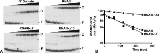 RNAIII binds efficiently to coa mRNA in vitro.(A) Determination of the apparent dissociation constant for RNAIII-coa mRNA complex. 5′-end-labeled coa mRNA was incubated alone (−) or with various concentrations of unlabeled wild type RNAIII, the 3′ domain, RNAIII-Δ7-9, and RNAIII-Δ13 (1, 5, 10, 20, 50, 100, 200, and 250 nM). The fraction of labeled coa mRNA associated with RNAIII or its derivatives was calculated from the counts in the corresponding band relative to the total counts in the lane. The Kd value was estimated as the concentration of RNAIII allowing 50% of coa mRNA binding. (B) Binding rate constant for various RNAIII-coa mRNA complexes as determined from three independent experiments. 5′-end-labeled coa mRNA (0.1 nM) was incubated with unlabeled RNAIII (20 nM), RNAIII-Δ7-9 (20 nM), and RNAIII-Δ13 (20 nM) at 37°C. Aliquots were withdrawn at various times (from 0 to 350 sec). The percentage of free coa mRNA was plotted as a function of time to estimate the association rate constant according to [40]. The values for the binding rate constants are the means of three independent experiments: 1.1×105 M−1 s−1 (RNAIII), 9.5×105 M−1 s−1 (RNAIII-Δ7-9), and 1.1×104 M−1 s−1 (RNAIII-Δ13).
