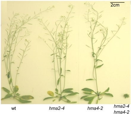 Comparison of wt and mutant plants grown on soil.Plants were grown for 42 days on soil under identical conditions in a controlled-environment growth room (22°C 16 h light, 20°C 8 h dark cycle). Arabidopsis thaliana (Columbia) wt, hma2-4 (SALK_034393), hma4-2 (SALK_050924) and the double hma2-4 hma4-2 mutant are shown.