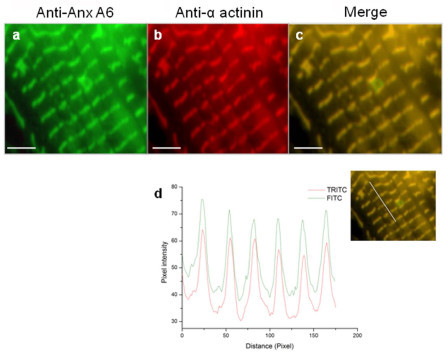 Colocalization of AnxA6 with a-actinin in cardiomyocytes. The representative images shown are endogenous expression of AnxA6 (a) and α-actinin (b) in the same cell and their colocalization pattern (c). The line profile for quantification of colocalization (d) was done using the merged image (inset) of AnxA6 and sarcomeric α-actinin. The images represent results of three different experiments with separate batches of myocyte preparation. Scale bar represents 10 μm (100×).