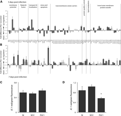 Mitochondrial transcriptome analysis of neuronal cultures overexpressing PGC-1α. Seven-day-old primary neuronal cultures from mouse ventral midbrain were infected with either a NCV or a vector encoding PGC-1α (PGC1). PCR arrays were performed at days 5 (A) and 7 (B) post-infection, to measure changes in the expression of 84 nuclear genes involved in various mitochondrial functions. Dark grey columns indicate significant changes in gene expression (n = 4, Student's t-test, P < 0.05). (C and D) To analyze mitochondrial membrane potential, neurons were incubated with the JC-1 sensor at 5 (C) and 8 (D) days post-infection and the ratio green/red fluorescence measured. One-way ANOVA with Newman–Keuls post hoc test: NI, n = 7; NCV, n = 8; PGC1, n = 7; *P < 0.05.