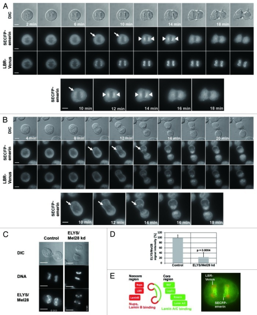 Figure 1. The targeting of the LBR depends on ELYS/Mel28 and the Nup107-160 complex but not on the nucleoporin Pom121. Immunofluorescence (IF) staining of mitotic cells depleted of (A) ELYS/Mel28 for 50 h, (B) Pom121 for 50 h, (C) or Nup107 after double transfection for 75–80 h. Two different siRNA oligos were used to for ELYS/Mel28 depletion (I and II). (D) The depletion efficiency of ELYS/Mel28, Pom121 and Nup107-Venus, observed in (A–C) respectively, was evaluated by comparing the IF signal intensities of the control cells and the depleted cells. (E) Endogenous Pom121, ELYS/Mel28, and LBR were detected by IF staining after LBR-depletion with RNAi (LBR kd). (F) Endogenous Lamin B, LBR, and Nup62 were detected by IF staining in ELYS/Mel28-depleted cells. Scale bars = 10 µm. The pictures are projections of image stacks (distance = 0.2 µm; three images).