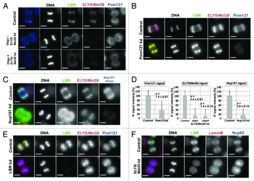 The targeting of the LBR depends on ELYS/Mel28 and the Nup107–160 complex but not on the nucleoporin Pom121. Immunofluorescence (IF) staining of mitotic cells depleted of (A) ELYS/Mel28 for 50 h, (B) Pom121 for 50 h, (C) or Nup107 after double transfection for 75–80 h. Two different siRNA oligos were used to for ELYS/Mel28 depletion (I and II). (D) The depletion efficiency of ELYS/Mel28, Pom121 and Nup107-Venus, observed in (A–C) respectively, was evaluated by comparing the IF signal intensities of the control cells and the depleted cells. (E) Endogenous Pom121, ELYS/Mel28, and LBR were detected by IF staining after LBR-depletion with RNAi (LBR kd). (F) Endogenous Lamin B, LBR, and Nup62 were detected by IF staining in ELYS/Mel28-depleted cells. Scale bars = 10 µm. The pictures are projections of image stacks (distance = 0.2 µm; three images).