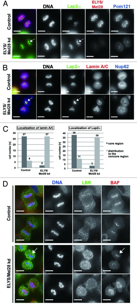 Figure 4. ELYS/Mel28 is involved in proper localization of BAF, Lap2α, and lamin A/C to the chromosomal core region. (A and B) Endogenous Lap2α, Pom121, Lamin A/C, Nup62, or ELYS/Mel28 was examined in HeLa cells (Control) or HeLa cells depleted of ELYS/Mel28 for 60 h (ELYS kd) by IF staining. Pictures are projections of image stacks (distance = 0.2 µm; three images). Scale bars = 10 µm. (C) Quantification results of (A and B) are shown. Localization at the core region of lamin A/C (n = 33 for the control, n = 29 for the ELYS/Mel28 kd) and Lap2α (n = 49 for the control, n = 38 for the ELYS/Mel28 kd). (D) Endogenous LBR and BAF were examined in HeLa cells (control) or HeLa cells depleted of ELYS/Mel28 for 50 h (ELYS kd) by IF staining. The pictures were deconvoluted using Softworx. Scale bars = 10 µm. White arrows in (A, B and D) indicate the localization of the A-type lamin-binding proteins to the chromosomal region adjacent to the spindle pole area.