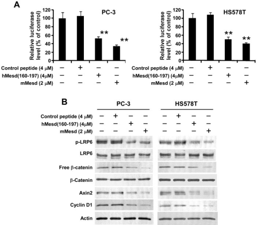 Mesd C-terminal region peptide blocks Wnt/β-catenin signaling in prostate cancer PC-3 and breast cancer HS578T cells.(A) PC-3 and HT578T cells in 24-well plates were transiently transfected with the Super8XTOPFlash luciferase construct and β-galactosidase-expressing vector in each well. After 24 h incubation, cells were treated with mouse Mesd (mMesd), human Mesd peptide hMesd (160–197) or control peptide at the indicated concentrations. The luciferase activity was then measured 24 h later with normalization to the activity of the β-galactosidase. Values are the average of triple determinations with the s.d. indicated by error bars. **P<0.01 compared to the control cells without Mesd or Mesd peptide treatment. (B) PC-3 and HS578T cells in 6-well plates were treated with mMesd, hMesd (160–197) or control peptide at the indicated concentrations for 24 h. The levels of cytosolic free β-catenin, and total cellular β-catenin, LRP6, Axin2, cyclin D1 and phosphorylated LRP6 were then analyzed by Western blotting. Samples were also probed with the anti-actin antibody to verify equal loading.