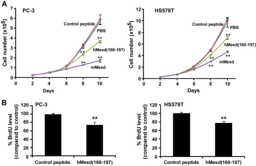 Mesd C-terminal region peptide inhibits prostate cancer PC-3 and breast cancer HS578T cell proliferation.(A) Cancer cells in 6-well plates were treated with mouse Mesd (mMesd, 2 µM), human Mesd peptide hMesd (160–197) (4 µM) or control peptide (4 µM) in RPMI-1640 medium containing 2% FBS for PC-3 cells or DMEM medium containing 2% FBS for HS578T for 10 days. The media were changed every other day, and cells were harvested and counted using the trypan blue exclusion assay. Values are averages of three determinations with the standard deviations indicated by error bars. ** P<0.01 compared to the cells treated with PBS or control peptide. (B) Cancer cells in T-25 flasks were treated with human Mesd peptide hMesd (160–197) (2 µM) or control peptide (2 µM) in the culture medium containing 2% FBS for 7 days. The media were changed every other day. The cells were then harvested and seeded into 96-well tissue culture plates at a density of 5000 cells/well with hMesd (160–197) (2 µM) or control peptide (2 µM) in the culture medium containing 10% FBS for 2 days. Cell proliferation was measured by BrdU proliferation ELISA. All the values are the average of six determinations with the s.d. indicated by error bars. **P<0.01 compared to cells treated with control peptide.