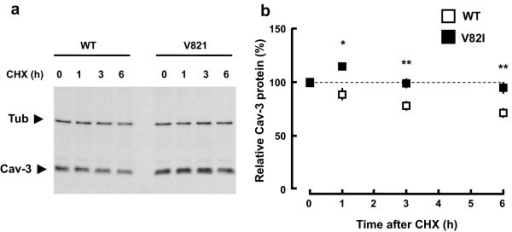 Stability of Cav-3 WT and Cav-3 V82I. Transfected BHK cells were treated with cycloheximide (10 μg/ml; CHX) for the indicated length of time. Cells were then collected in same volumes of lysis buffer and equal volumes of extracts were analyzed by immunoblotting. Representative blot is shown in (a). Levels of residual caveolin-3 at the indicated time points (% of time 0) for Cav-3 WT and Cav-3 V82I are shown in (b). Data are representative of four independent experiments. *, P < 0.05 vs WT at the respective time point; **, P < 0.01 vs WT at the respective time points.