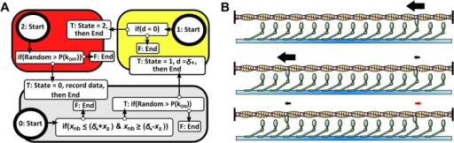 Agent-based simulation of myosin systems.(a) Logic rules that each individual myosin agent autonomously follows each step of the simulation. (b) Three rendered frames of myosin ensembles interacting with a single long actin filament. Myosins only generate force when attached to actin and based on their state generate positive force promoting filament motility (left pointing arrows) or negative force retarding motility (right pointing arrows).