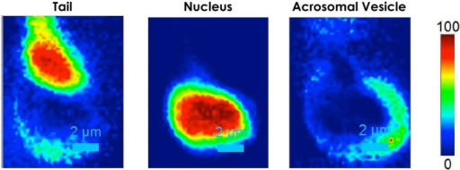 2D intensity map of each Raman spectrum corresponding to different regions of the spermatozoon: tail, nucleus and acrosomal vesicle.