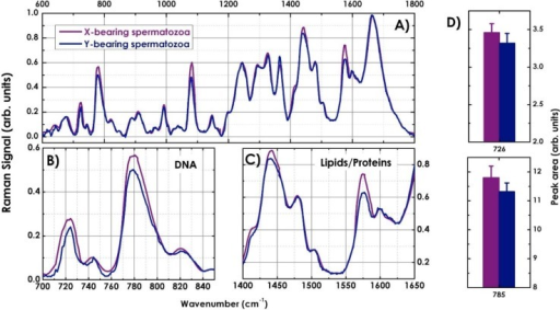 "(A) Average Raman spectra of 300 X- (purple line) and 300 Y-sperm cells (blue line) in the ""fingerprint"" spectral region; (B) Comparison between the Raman spectra of X- and Y-spermatozoa in the spectral region between 700–850 cm−1 and (C) 1400–1650 cm−1. (D) Measured peak area of the characteristic DNA bands at 726 and 785 cm−1 for X- and Y-spermatozoa."