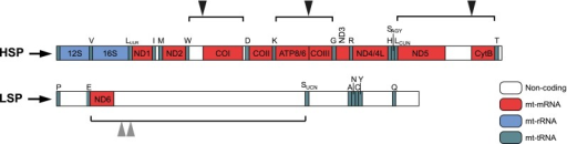 Polycistronic transcription units in mitochondria. Polycistronic precursor mitochondrial transcripts are shown. The transcript from LSP contains only the coding sequences for the ND6 subunit of complex I and eight mt-tRNAs. All other coding sequences are produced by transcription from HSP. With some exceptions (triangles), mt-rRNAs (blue) and mt-mRNAs (red) are punctuated with mt-tRNAs (green). The endonucleolytic processing of mt-tRNA liberates most of the mt-mRNAs and the two mt-rRNAs. The enzymatic machinery responsible for the processing at the non-canonical sites, not punctuated with mt-tRNAs, is not well investigated. ND6 mRNA shows multiple 3′ ends: either 500 nt (Slomovic et al 2005) or 30 nt (Mercer et al 2011) downstream of the translation termination codon