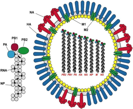 The structure of Influenza A virus and the ribonucleoprotein complex. The virus proteins are denoted as HA hemagglutinin; NA neuraminidase, M1 matrix protein 1; M2 matrix protein 2; NP nucleoprotein; and the polymerase proteins PA, PB1 and PB2.