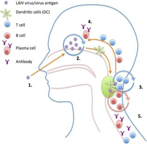 Model of induction of immune responses after live attenuated influenza vaccination (LAIV). (1) Intranasal LAIV immunization; (2) Viral antigen is transported to the tonsils/adenoids by the Dendritic Cells (DCs); (3) Activation and proliferation of T and B cells in tonsils/adenoids with help from CD4+ T-cells. Affinity maturation of B cells; (4,5) Activated T and B cells home to site of infection and enter circulation. Plasma cells secrete antibody into the blood and at the mucosal surfaces.