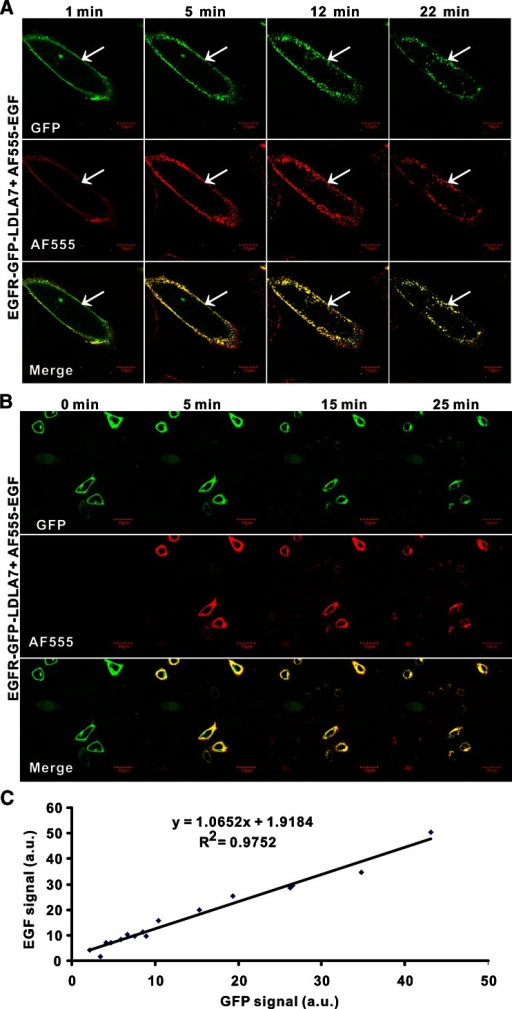 A partial transfection assay reveals EGRF-GFP and EGF uptake and co-localization. a Real-time visualization of co-internalization of AF555-EGF and EGFR-GFP by EGFR-GFP-LDLA7 cells. b Visualization of cellular uptake of AF555-EGF by EGFR-GFP-A549 cells. c Analysis of GFP expression versus AF555-EGF uptake from confocal images. Data was acquired from 16 cells
