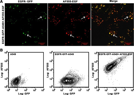 EGF uptake in lung cancer cell lines. a Confocal images of cellular uptake of AF555-EGF by EGFR-GFP-A549 cells. b Quantification of GFP expression versus AF555-EGF uptake by flow cytometry. As shown from left to right, A549 cells alone (left), EGFR-GFP-A549 cells alone (middle), and EGFR-GFP-A549 cells treated with AF555-EGF (right), respectively