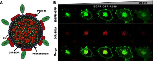 EGF targeting of payload bearing nanoparticles. a Schematic figure of EGF-HPPS. EGF-HPPS consists of phospholipids, peptides, cholesteryl oleate (CO), DiR-BOA cargo, and EGF. b Three-dimensional imaging of uptake of EGF(DiR-BOA) HPPS by EGFR-GFP-A549 cells