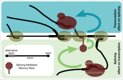 Schematic representation of the transcription–splicing mutual dependency. Splicing controls transcription elongation of consecutive RNAP II molecules to provide an optimal timing for successive rounds of splicing. Blue arrow represents RNAP II transcription elongation rate effect on splice site selection by spliceosome. Green arrow represents spliceosome effect on transcription.