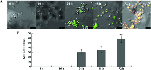 Subcellular localization of NDRG2 protein following gene transfection. (A) Subcellular localization of NDRG2 protein in the mitochondria of the NDRG2-transfected cells at 6, 16, 24, 48 and 72 h following transfection. (B) Quantification of NDRG2 protein expression following transfection. Values are presented as the mean ± standard deviation. *P<0.05 and **P<0.01 vs. 6 h. NDRG2, N-Myc dowstream-regulated gene 2; MFI, mean fluorescence intensity.