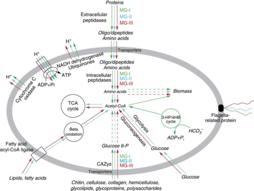 Proposed transcriptionally active heterotrophic metabolic pathways.Green, blue and red indicate heterotrophic pathways found in MG-I, MG-II and MG-III, respectively.