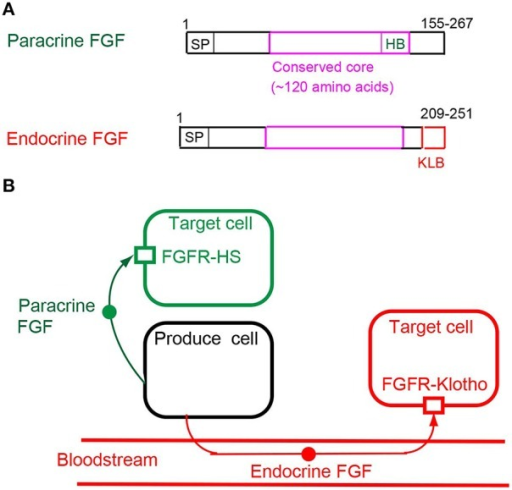 (A) Schematic representations of paracrine and endocrine FGF structures. SP, HB, and KLB indicate a secreted signal sequence, heparan sulfate-binding site, and Klotho-binding site, respectively. (B) Mechanisms of action of paracrine and endocrine FGFs. Paracrine FGFs are locally secreted signals that act on nearby target cells by diffusion, with functions in multiple developmental and physiological processes. Endocrine FGFs are secreted endocrine signals that act on distant target cells through the bloodstream, with functions in multiple metabolic processes. FGFR-HS and FGFR-Klotho indicate the FGFR-heparan sulfate complex and FGFR-Klotho complex, respectively.