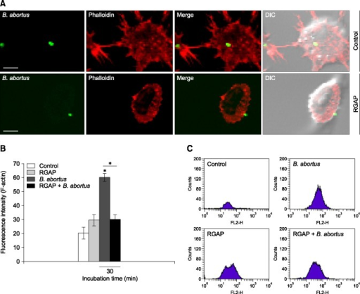 Fluorescence-activated cell sorting (FACS) analysis of the effects of RGAP on phagocytosis of B. abortus by F-actin polymerization modulation. (A) F-actin polymerization and bacterial co-localization (scale bars = 5 µm). (B) FACS analysis for F-actin content. (C) Intensification of F-actin polymerization. The data shown are representative of at least three independent experiments. Statistically significant differences relative to untreated control cells are indicated by an asterisk (*p < 0.05). DIC, differential interference contrast.