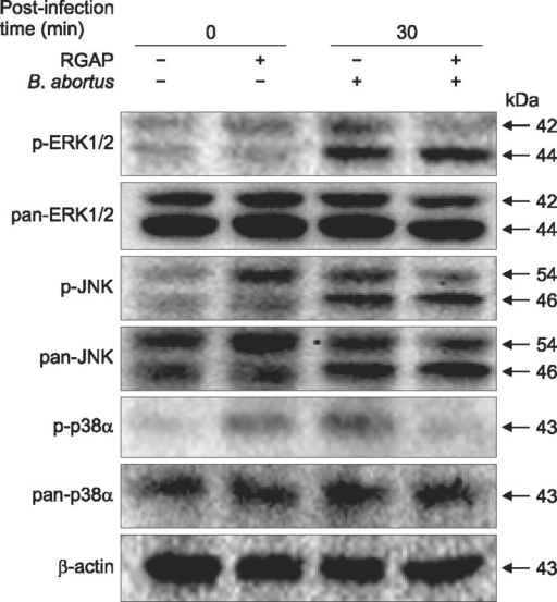 Effect of RGAP on activation of intracellular signaling for the phagocytosis of B. abortus. Immunoblot analyses of total RAW 264.7 cell lysates pre-treated with RGAP were assessed using phospho-specific ERK1/2, JNK and p38α antibodies at the indicated times. Images shown are representative of at least three independent experiments.
