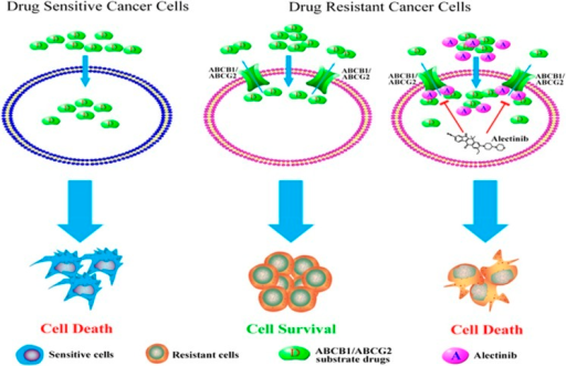 A schematic model illustrating the reversal of MDR by alectinib. When the primary tumors were treated with chemotherapeutic agents, the sensitive cancer cells were killed, but the MDR cancer cells simultaneously became resistant to structurally and mechanistically distinct classes of anticancer drugs. Overexpressing ABCB1 or ABCG2 in the MDR cells resulted in an efflux of drugs across the membrane. In the presence of alectinib, the intracellular accumulation of conventional anticancer drugs was increased in the ABCB1- or ABCG2-overexpressing cells, resulting in sensitization of the MDR cells. The reversal of MDR by alectinib was mediated by inhibition of ABCB1/ABCG2 transport function and by enhanced intracellular accumulation of anticancer substrate drugs.