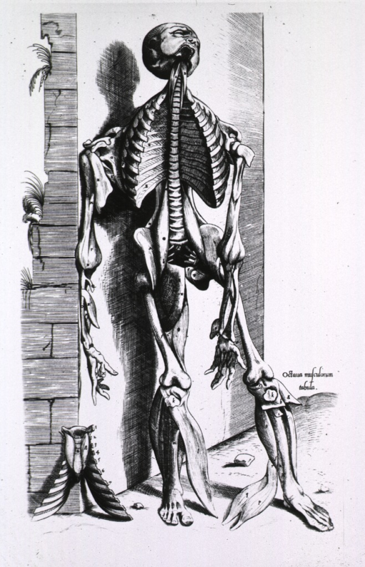 <p>Full length frontal view, standing, of human figure leaning against a wall; some muscles and a portion of the rib cage have been stripped away exposing the bone structure.</p>
