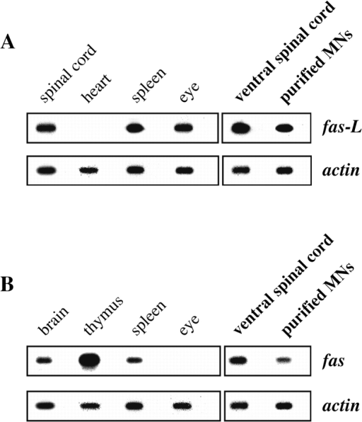 Embryonic motoneurons express Fas and FasL both in situ and after purification. Total RNA was prepared from the indicated rat tissues, and RT-PCR analysis followed by Southern blotting was performed using specific primers and internal probes for FasL (A) and Fas (B). RT-PCR for β-actin was used as an internal control to ensure that similar concentrations of mRNA were present in all samples. For each mRNA, the first panel corresponds to positive and negative control samples prepared from indicated tissues of adult rat; the results are in agreement with several reports in the literature. The second panel shows results from E14 rat embryos, using either freshly dissected ventral spinal cord or motoneurons purified by a metrizamide-immunoaffinity method in conditions that limit de novo synthesis of mRNA. Fas and FasL are present at significant levels in motoneurons. Alternate unlabeled lanes in all panels are control in which reverse transcriptase was omitted from the incubation.