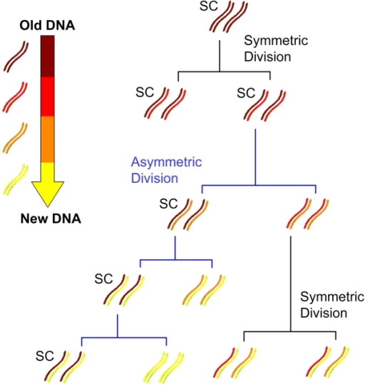 Immortal strand hypothesis. During asymmetric SC divisions, chromosomes containing oldest template DNA (dark red) are segregated to SCs. DNA is replicated semiconservatively, each chromosome contains one older template strand. Complements of old DNA–containing chromosomes are cosegregated through many rounds of asymmetric cell division, although symmetric SC divisions segregate chromosomes randomly. Thus over time, SCs contain proportionally more template-containing chromosomes than any other cells in the population, which contain mostly newer synthesized DNA (yellow).
