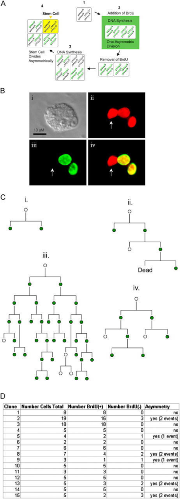Live cell imaging supports nonrandom segregation of DNA. (A) Schematic showing BrdU imaging strategy. (1) Each double strand (1 chromosome) represents 10 chromosomes of a mouse cell. Cells are unlabeled for BrdU (black). (2) During DNA synthesis, BrdU (green) is taken up for exactly one division in the presence of BrdU. (3) BrdU is removed and the daughters enter a second round of DNA synthesis in the absence of BrdU. (4) Division events after the second round of DNA synthesis should show BrdU asymmetry if groups of unlabeled chromosomes are cosegregated as immortal strands into SCs. (B) A clone imaged in real time. After one division event, BrdU was removed, and colony was fixed after two further cell divisions in the absence of BrdU. Arrow indicates a cell that has cleared all BrdU signal. (i) Bright field shows clone; (ii) histone-labeled nuclei are red; (iii) BrdU is indicated by green; (iv) merge of histone and BrdU. (C) Lineage diagrams from four clones traced (ii–iv show asymmetric DNA partitioning). Clone (ii) is the same shown in B. Each lineage represents divisions of one single cell, plated in the presence of BrdU, which is taken up during the first division initially labeling daughter nuclei (green), as demonstrated in clone (i). BrdU was removed after this one division, and cells continued proliferating until analysis. Note, the presence of BrdU(+) is inferred in parental cells from their offspring. Dead cells were observed to disintegrate while imaging, before analysis. (D) Summary of clones traced. 6 out of 15 clones demonstrated asymmetric partitioning of new and old DNA.