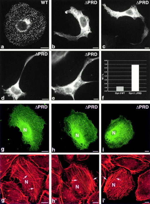 Expression of a truncated dynamin (Dyn 2(aa)ΔPRD) induces profound changes in cell shape with a concomitant proliferation of actin stress fibers. Fluorescence micrographs of cultured clone 9 cells expressing either wt Dyn 2(aa)–GFP (a) or Dyn 2(aa)ΔPRD-GFP (b–e). Cells expressing the wt protein (a) display a normal discoidal shape and a punctate distribution of dynamin at both the plasma membrane and Golgi apparatus, identical to that of untransfected cells. In strong contrast, cells expressing the Dyn 2(aa)ΔPRD–GFP became elongated, sprouting long peculiar neurite-like appendages (b–e). Morphological measurements of >200 wt and mutant cells confirmed this shape change showing a six- to sevenfold increase in width versus length (f). To test if changes in actin organization might be responsible for these changes in shape, clone 9 cells expressing the Dyn 2(aa)ΔPRD–GFP (g–i) were fixed and stained for actin using rhodamine phalloidin (g′–i′). Whereas surrounding untransfected cells possessed a cortical ring of filamentous actin with few stress fibers, mutant cells displayed a reduction in cortical actin with a dramatic alteration in the actin cytoskeleton. Specifically, these cells possessed an extensive number of stress fibers that traversed the long axis and contributed to the shape malformation seen in isolated cells that were not grown in a monolayer (b–e). It should be noted that changes in the shape of these mutant cells are minimized in the confluent cultures shown here to provide a comparison of actin organization with the surrounding, untransfected cells (g–i). Shape changes are most prevalent in sparsely plated cells (b–e). Bars, 10 μm.