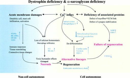 Pathophysiological Flow Chart Of The Muscular Dystrophi Open I
