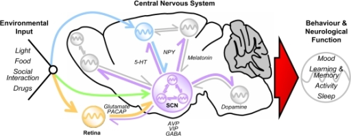 The circadian system and the mammalian braine scn ac open i the circadian system and the mammalian braine scn acts as a master ccuart Image collections