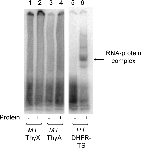 RNA binding by M. tuberculosis ThyA and ThyX.M. tuberculosis thymidylate synthases do not bind to their cognate mRNA. 0.35 nM of 32P labeled M. tuberculosis ThyX mRNA (lanes 1 and 2), M. tuberculosis ThyA mRNA (lanes 3 and 4), or P. falciparum DHFR-TS mRNA (lanes 5 and 6) was incubated in the presence or absence (lanes 1, 3, and 5) of purified M. tuberculosis ThyX (3.5 µM, lane 2), M. tuberculosis ThyA (3.5 µM, lane 4), or P. falciparum DHFR-TS (500 nM, lane 6). Unbound RNA was digested with 3 units of RNase T1 prior to electrophoresis [22].