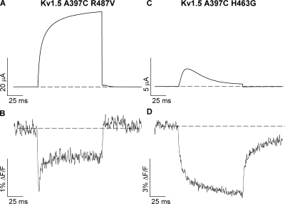 Immobilization of the selectivity filter gate abolishes the fluorescence dequenching. (A and B) Representative fluorescence signals recorded from Kv1.5 A397C R487V mutant channels during a 100-ms voltage clamp pulse from −80 to +60 mV. Similar recordings were obtained from four (R487V) or nine (W472F) other cells. (C and D) Fluorescence signals recorded from Kv1.5 A397C H463G mutant channels during a 100-ms voltage clamp pulse from −80 to +60 mV. Similar recordings were obtained from four (R487V) or five (H463G) other cells.