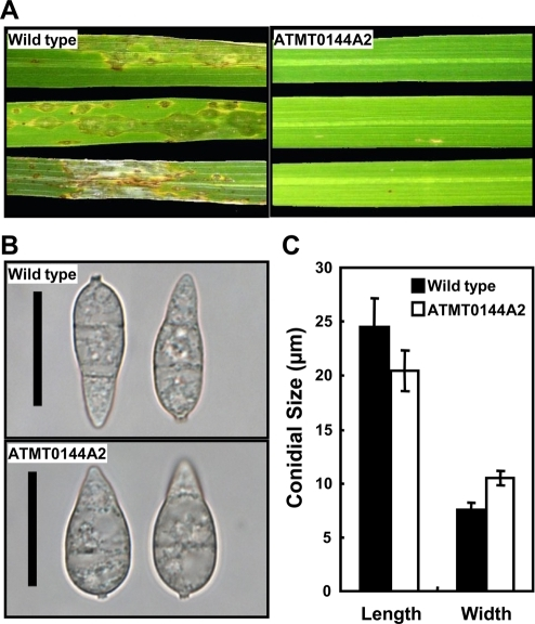The Magnaporthe oryzae T-DNA mutant ATMT0144A2 has defects in lesion development and conidial morphology.(A) Rice seedlings (Nakdongbyeo) were inoculated with the wild-type strain 70-15 (left) and ATMT0144A2 (right). Diseased leaves were harvested 7 days after spray inoculation with conidial suspension (1×105 conidia/ml). (B) Light microscopy of conidia produced by 70-15 (top) and ATMT0144A2 (bottom). Bar = 20 µm. (C) Conidial size of the wild type and ATMT0144A2. Values are the mean±SD from >100 conidia of each strain, which were measured using the Axiovision image analyzer. Length is the distance from the base to apex of conidia. Width is the size of the longest septum.