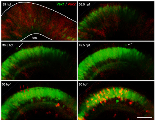 Vsx2/Vsx1 down-/upregulation, followed by Vsx2 upregulation. Time-lapse images from Additional file 3 of a double transgenic Tg(vsx1:GFP; vsx2:dsRed) embryo. Vsx2 is initially expressed in the majority of progenitors in the developing neuroepithelium and becomes downregulated in cells that upregulate Vsx1. These cells continue to undergo cell divisions at the apical surface (white arrows) and start differentiating around 40 hours post-fertilization (hpf). Later (around 55 hpf), a subpopulation of cells starts upregulating the expression of Vsx2:DsRed (red arrows) and then differentiates in the inner nuclear layer. Scale bar: 500 μm.