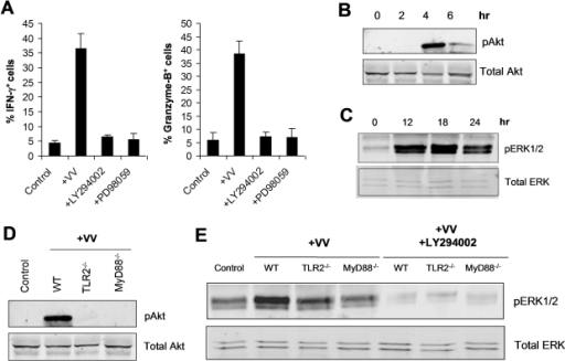 TLR2-dependent activation of NK cells by VV is mediated by PI3K and ERK.(A) DX5+CD3− NK cells were infected with VV (+VV), VV in the presence of the PI3K inhibitor, LY294002 (+LY294002) or the ERK inhibitor, PD98059 (+PD98059) in vitro. 48 h after infection, NK cells were assayed for intracellular IFN-γ and Granzyme B. The mean percentage ± SD of IFN-γ or Granzyme B positive cells among DX5+CD3− cells is shown. Data shown is representative of three independent experiments. (B–C) DX5+CD3− NK cells were stimulated in vitro with VV for the indicated time periods. After stimulation for 2, 4, and 6 h, NK cells were removed from culture and total cell lysates were collected for Western blot analysis of phosphorylated Akt (pAkt) as well as total Akt (Total Akt), which served as a loading control (B). After stimulation for 12, 18, and 24 h, NK cells were removed from culture and total cell lysates were collected for Western blot analysis of phosphorylated ERK1/2 (pERK1/2) as well as total ERK (Total ERK) (C). (D) WT, TLR2−/−, and MyD88−/− DX5+CD3− NK cells were stimulated in vitro with VV (+VV), or left unstimulated (Control) for 4 h. NK cells were removed from culture and total cell lysates were collected for Western blot analysis of phosphorylated Akt (pAkt) as well as total Akt (Total Akt). (E) WT, TLR2−/−, and MyD88−/− DX5+CD3− NK cells were stimulated in vitro with VV (+VV), VV and the PI3K inhibitor LY294002 (+LY294002), or left unstimulated (Control) for 18 h. NK cells were removed from culture and total cell lysates were collected for Western blot analysis of phosphorylated ERK1/2 (pERK1/2) as well as total ERK (Total ERK). Data shown is a representative blot of five independent experiments.