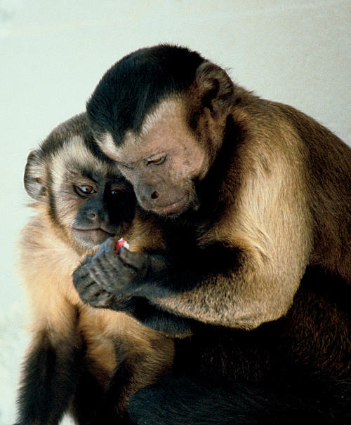 Capuchin Monkeys Sharing(Photo courtesy of Frans de Waal.)