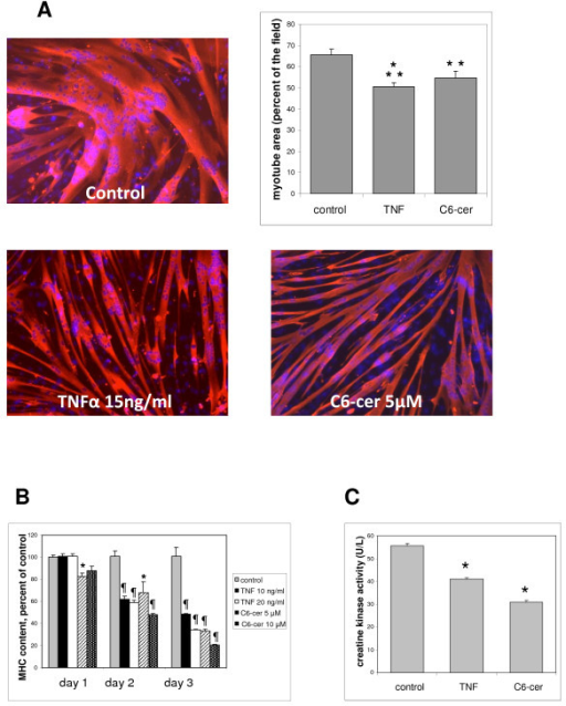 Effects of tumor necrosis factor (TNF)-α and exogenous ceramide on L6 myotube characteristics. (A) Differentiated myotubes treated for 3 days with 15 ng/ml TNF-α or 5 μmol/l C6 ceramide were immunostained for sarcomeric myosin heavy chain (MHC), and their surfaces were evaluated by using Image J software. The graph shows the myotube area (mean ± SE) expressed as a percentage of the field surface, as determined in ten fields, and is representative of at least three experiments. Different from control: **P = 0.01; ***P = 0.001. (B) The MHC content of myotubes treated for 3 consecutive days with TNF-α or C6 ceramide at the indicated concentrations was evaluated by ELISA. The mean ± SE of three measurements expressed as a percentage of control values is shown. The mean control value was 75 ± 11 μg of MHC per 120,000 cells. *Different from control: P < 0.05; P ≤ 0.001. (C) The creatine kinase activity of myotubes treated for 3 days with 15 ng/ml TNF-α or 5 μmol/l C6 ceramide was assayed in triplicate (mean ± SE).*Different from control: P < 0.05.