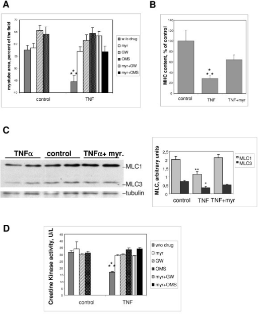 The negative effects of tumor necrosis factor (TNF)-α on L6 myotubes are counteracted by ceramide-synthesis inhibition. (A) Myotube area was measured after 3 days in the presence or absence of 15 ng/ml TNF-α, with the addition of 100 nmol/l myriocin, 10 μmol/l GW4869, or 1 μmol/l 3-0-methylsphingomyelin (OMS), or with myriocin plus either GW4869 or OMS. Shown are the mean ± SE of 5 to 9 experiments, with 10 fields considered for each condition. ***Different from all the other conditions: P ≤ 0.001. (B) ELISA quantification of the MHC content of myotubes treated for 3 days with 15 ng/ml TNF-α, with or without 100 nmol/l myriocin. The means ± SE of three measurements expressed as a percentage of control values are shown. ***Different from the other conditions: P ≤ 0.005. (C) Western blot analysis of myosin light chains (MLC) 1 and 3 from myotubes treated for 3 days with 15 ng/ml TNF-α, with or without 100 nmol/l myriocin. The diagram shows the quantification of MLC1 and MLC3 levels, after normalization by tubulin levels. Shown are the mean ± SE of three determinations. **Different from control and from TNF-α: P ≤ 0.002; *different from control: P ≤ 0.05. (D) Creatine kinase activity of myotubes treated or not by TNF-α, in the presence of 100 nmol/l myriocin, or 10 μmol/l GW4869, or 1 μmol/l OMS, or both myriocin and GW4869 or OMS. Shown are the mean ± SE of three determinations made in triplicate. ***Different from all the other conditions: P ≤ 0.001.